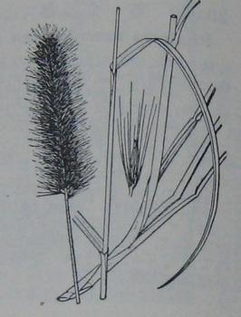 チカラシバ(牧野).JPG