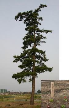 一本松と岩垂草.jpg