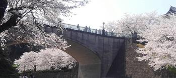 兼六園の桜.jpg